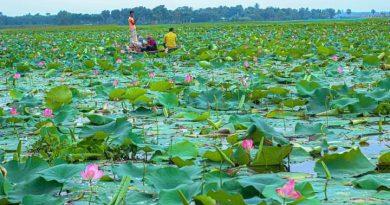 পদ্মফুলের রাজ্য নাটোরের চিনিডাঙ্গা বিল